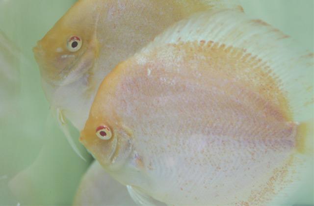 aquatic-dickson-lim
